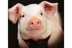 Фото свиней 3