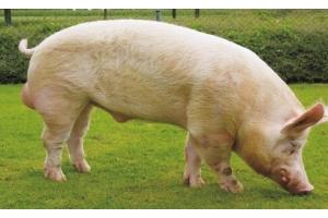 Фото свиней 4