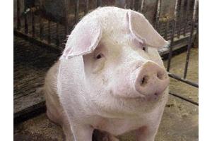 Фото свиней 6