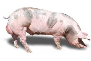 Фото свиней 7