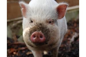 Фото свиней 8