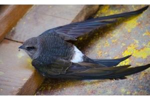 Птица стриж фото 4