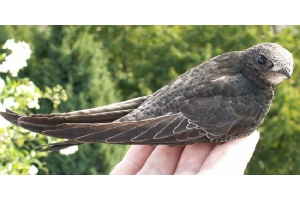 Птица стриж фото 5
