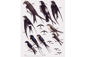 Птица стриж фото 7