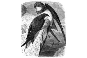 Птица стриж фото 8