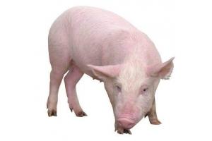 Свинья картинки 1
