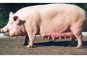 Свинья картинки 3