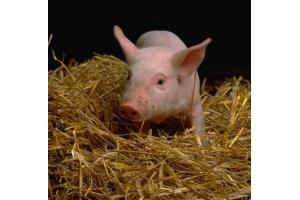 Свинья картинки 8