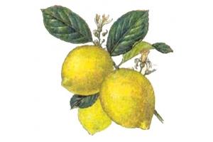 Картинка лимон 2