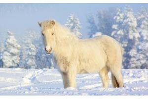 Фотографии лошадей зимой 3