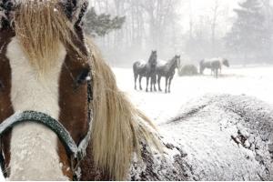 Фотографии лошадей зимой 6