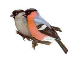 Снегирь птица фото 2