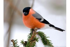 Снегирь птица фото 3