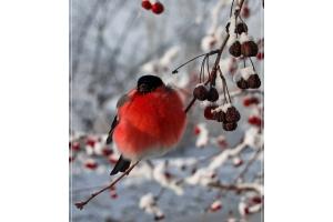 Снегирь птица фото 4