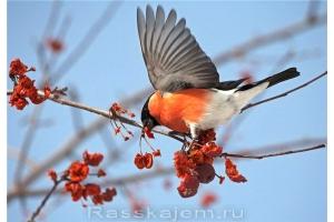 Снегирь птица фото 5