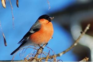 Снегирь птица фото 8