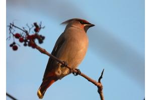 Фото зимующих птиц с названиями 7