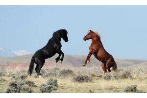 Мустанг лошадь фото 2