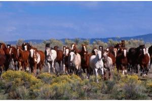 Мустанг лошадь фото 4