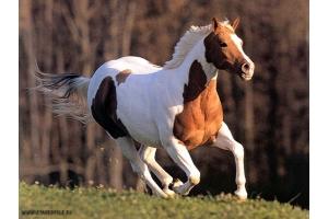 Мустанг лошадь фото 7