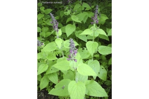 Лекарственные травы башкирии 3