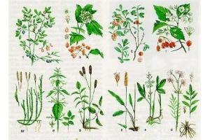 Лекарственные травы башкирии 7