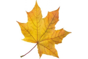 Шаблон кленовый лист 4