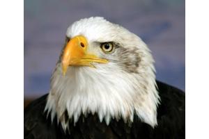 Орел птица фото 5