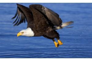 Орел птица фото 6