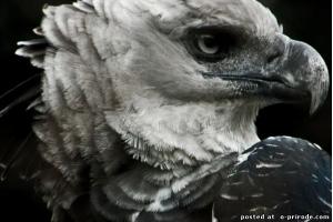 Орел птица фото 8
