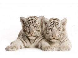 Новогодние белые тигры фото 7