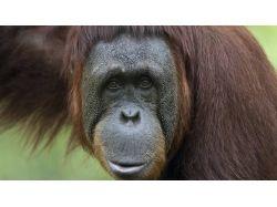 Орангутан - раскраски для детей 7
