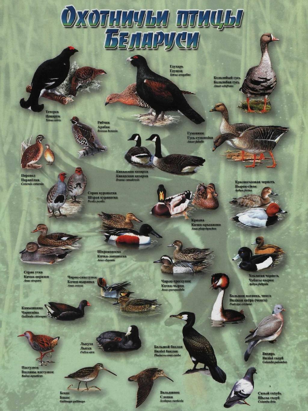 что как узнать породу птицы по фотографии этот период