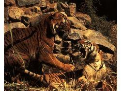 Рыжие тигры фото