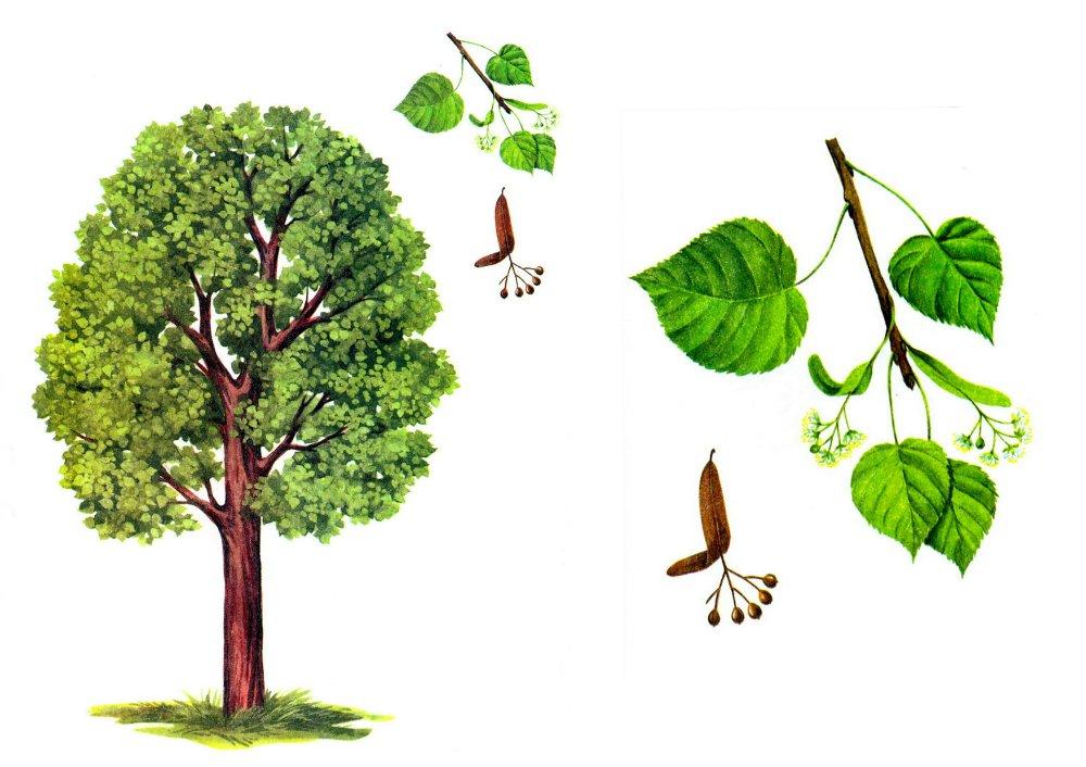 Картинки деревьев липа