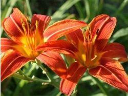 Фото цветы лилия менорка