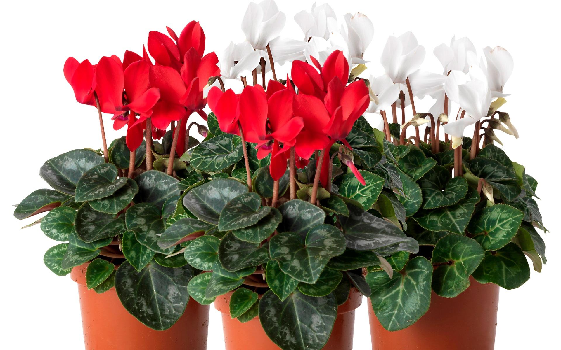 домашние цветущие растения картинки с названиями кухонные