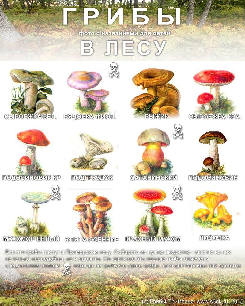 Лесные грибы съедобные фото и их названия