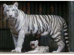 Белые бенгальские тигры фото