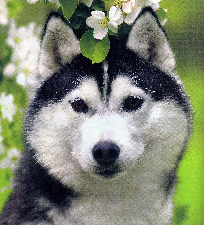 красивые картинок собак хаски глубоко факт