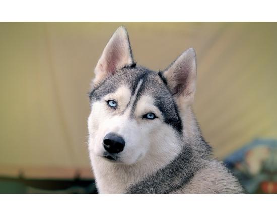Картинки собаки хаски » Скачать лучшие картинки бесплатно ...