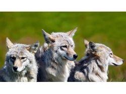 Красивые картинки на рабочий стол волки