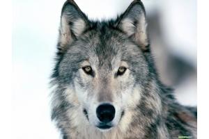 Картинки волка