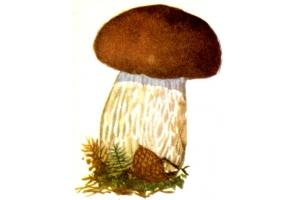 Белый гриб картинки для детей
