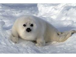 Скачать картинки животные арктических пустынь