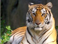 Животные тигры фотографии