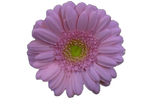 Цветы картинки без фона