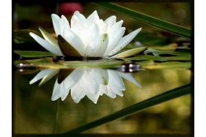 Картинки цветы лотоса
