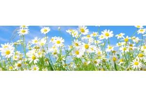 Цветы картинки ромашки