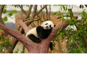 Обои на рабочий стол панда